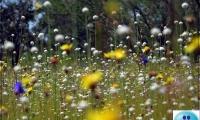 ชมทุ่งดอกดุสิตาบาน บนลานหิน ณ ป่าดงนาทาม
